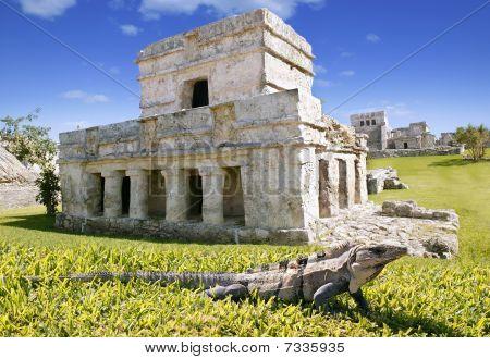 Iguana On Grass In Tulum Mayan Ruins
