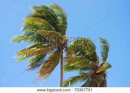 Coconut tree Blown by the wind on blue sky