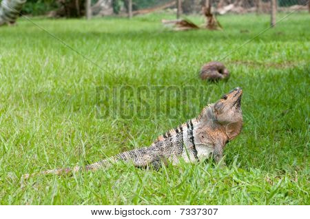 Pretty Iguana In Nature
