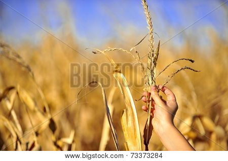 Cornfield Harvest Check In Autumn