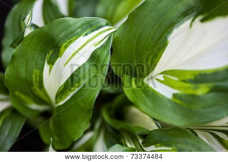Green-white Leaves Of Hosta