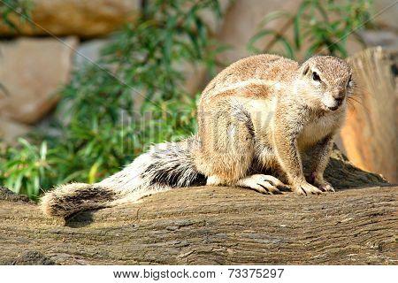 Wild rodent