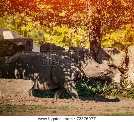 Rhinoceros in late afternoon