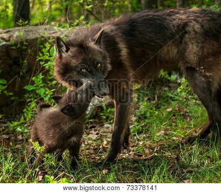 Black Wolf Pup (canis Lupus) Licks Mother Mouth