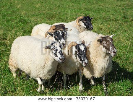 Small group of Scottish Blackface sheep