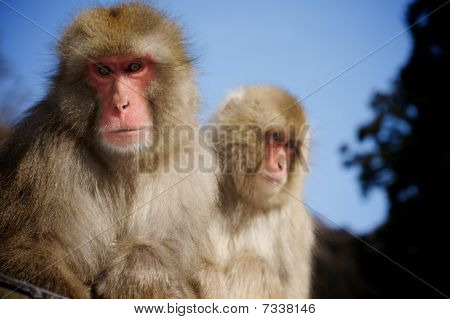 Japanese Macaque Snow Monkeys
