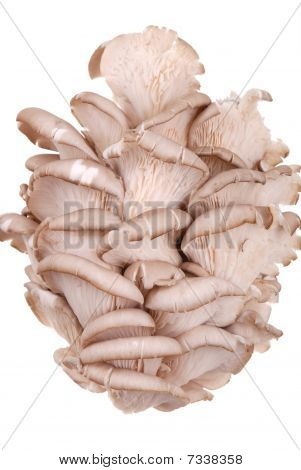 Fresh Oyster Mushroom Isolated On White
