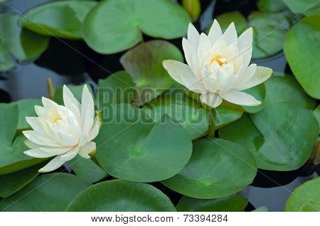 Lotus Flowers In Pond At Full Bloom
