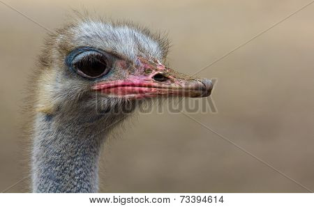 Portrait Of An Ostrich.