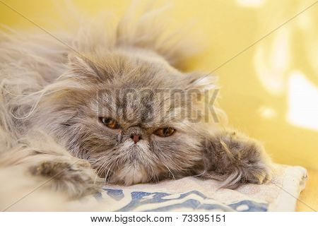 Young tortie persian cat