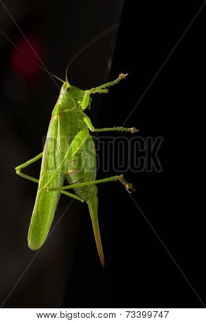 Green Locust On Dark Background