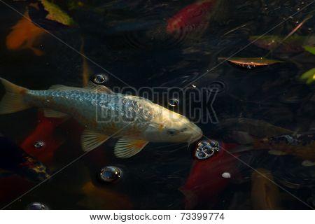White Carp Fish