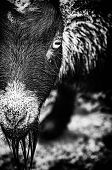 stock photo of pygmy goat  - Portrait of a Pygmy goat in black and white. ** Note: Visible grain at 100%, best at smaller sizes - JPG