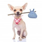 stock photo of stray dog  - chihuahua dog ready to run away ready for adoption isoalted on white background - JPG
