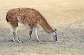 pic of lamas  - Young lama stay on the field in nature - JPG