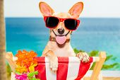 stock photo of sun-tanned  - chihuahua dog at the beach having a a relaxing time on a hammock while sun tanning - JPG