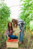 foto of picking tray  - Young smiling agriculture woman worker in front and colleague in back and a crate of tomatoes in the front, working,harvesting tomatoes in greenhouse.