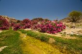 pic of oleander  - A small wadi (creek) with pink oleander bushes going towards Wadi Araba from Petra Jordan. ** Note: Visible grain at 100%, best at smaller sizes - JPG