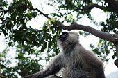 image of hanuman  - Hanuman Langur monkey on the tree in India - JPG