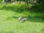 Wild Turkeys t-shirt