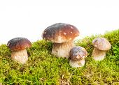 foto of boletus edulis  - Four mushrooms Boletus edulis  - JPG