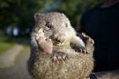 picture of wombat  - cute small baby wombat from australia - JPG