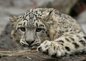 pic of panthera uncia  - Snow Leopard resting on the ground (Uncia uncia)