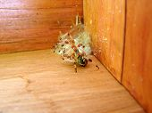 stock photo of baby spider  - Beautiful pale color wolf spider defending its nest placed in the corner of a wooden box by lifting its front legs ready to jump - JPG