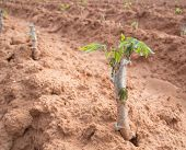 picture of cassava  - Cassava rose from the ground - JPG