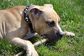 pic of american staffordshire terrier  - American Staffordshire Terrier playing with a stick - JPG