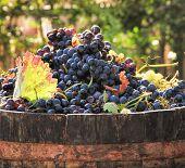 stock photo of grape  - Harvesting grapes - JPG
