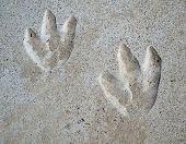 pic of hoof prints  - School playground couple of year old Dinosaur tracks in cement - JPG