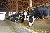 pic of calf cow  - Domestic cows on dairy farm  - JPG