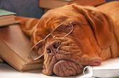 stock photo of dogue de bordeaux  - tired dog sleeping over a college books - JPG