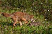 stock photo of coyote  - Pup and Adult Coyote  - JPG