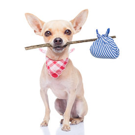 picture of sabbatical  - chihuahua dog ready to run away ready for adoption isoalted on white background - JPG