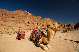 stock photo of camel-cart  - Camels resting opposite the Street of Facades in the archaeological site of Petra Jordan - JPG