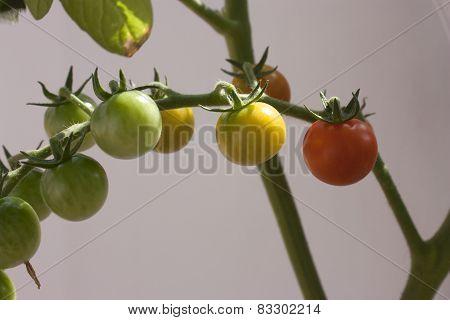 Grape Tomato's