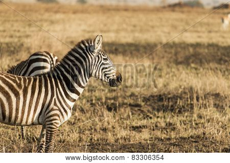 Zebra Standing Sideways And Looking Ahead At Empty Space