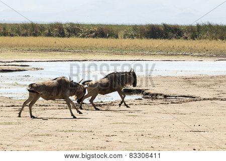 Two Wildebeests Running Near Lake