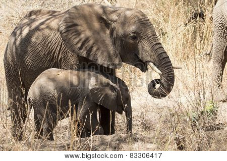 Adolescent And Baby African Elephants Eating