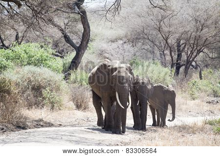 African Elephant Family Walking