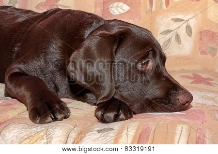 Chocolate Labrador Retriever Puppy, Age 5,0 Months.