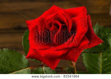 Beautiful Wild-growing Red Rose