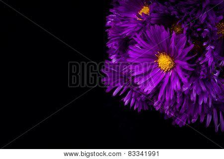 lilac chrysanthemum