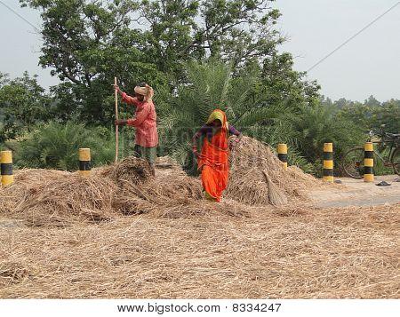 Indian Villagers Thresh Their Grain Along The Roadside
