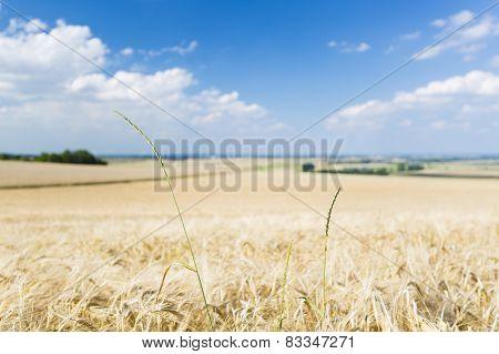 Golden Rye Field