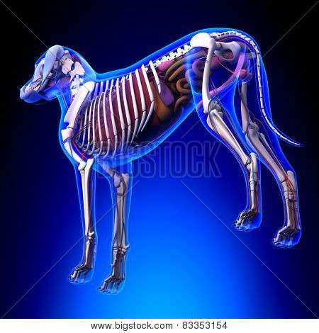 Dog Internal Organs Anatomy - Anatomy Of A Male Dog Internal Organs