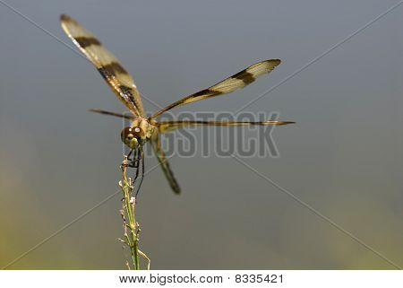 Dragonfly Perches