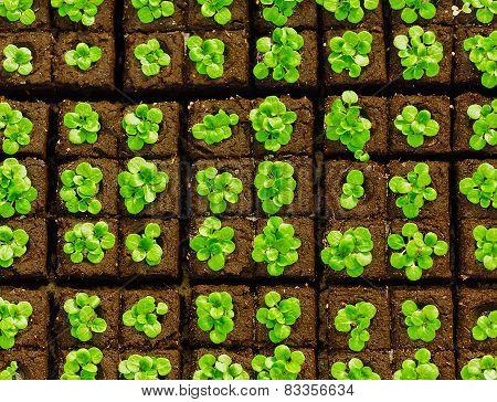 Seedlings in briquettes